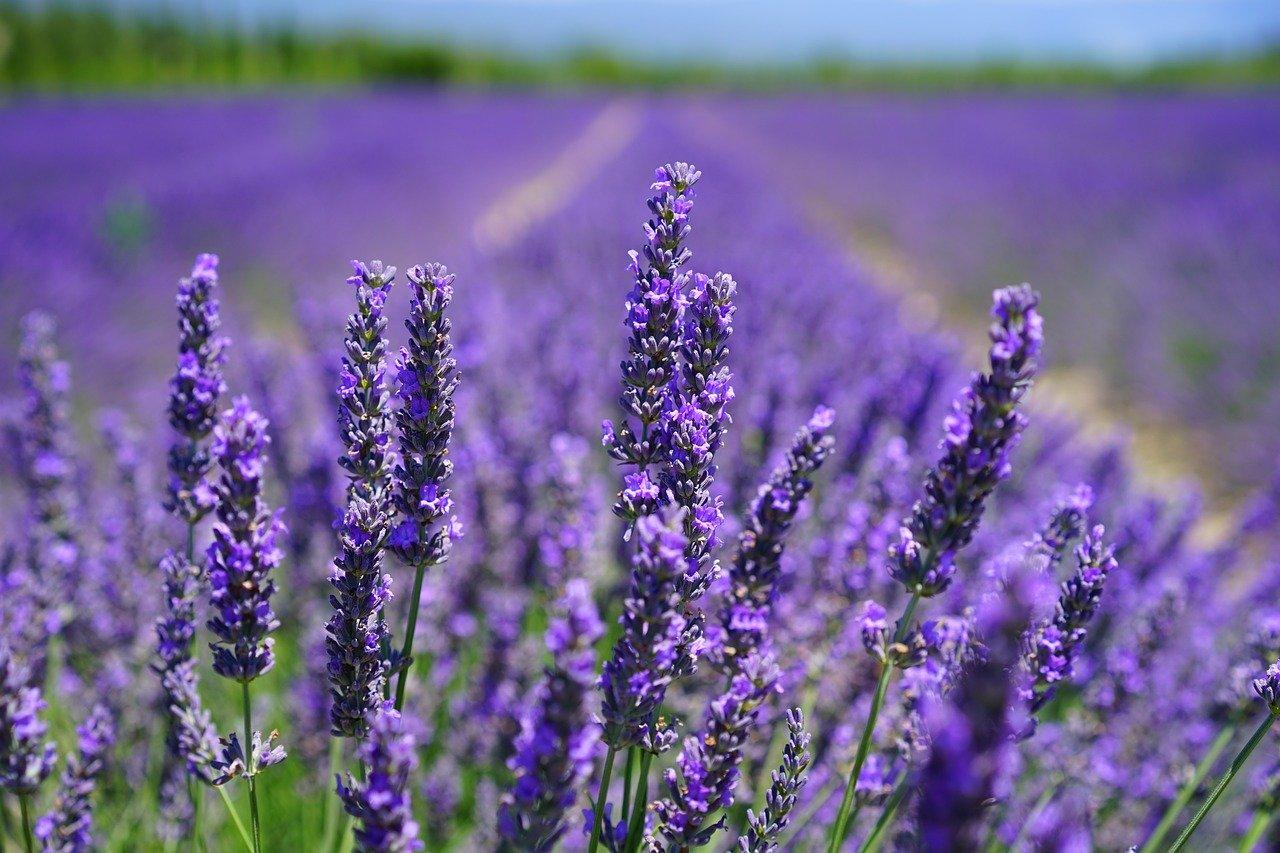 benefits of lavender essential oils field of lavender flowers